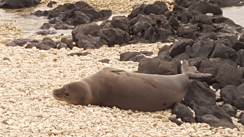 Kaena Point Monk Seal