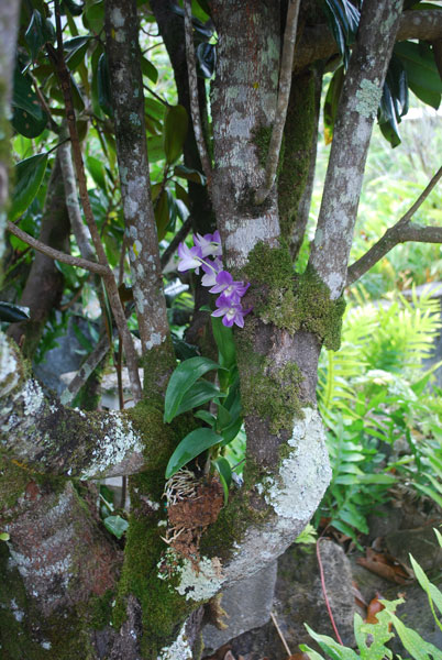 Magnolia Tree with the first of my orchids (not the same ones I just painted) grafted 2 years. It's larger now, and the roots encircle the tree branch.